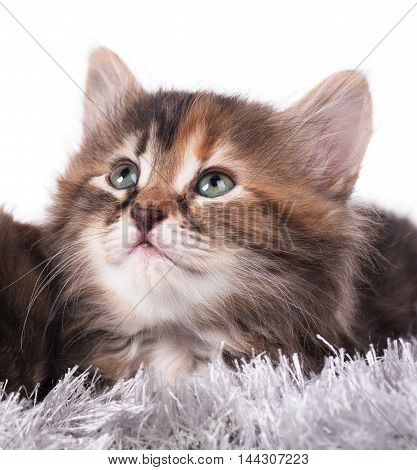 Cute siberian kitten in a warm knitted scarf over white background close-up