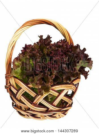 Lollo Rosso lettuce in the wicker basket isolated on white background