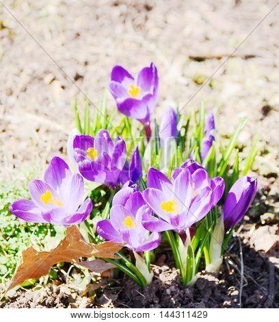 Close up Crocus flowers in the park