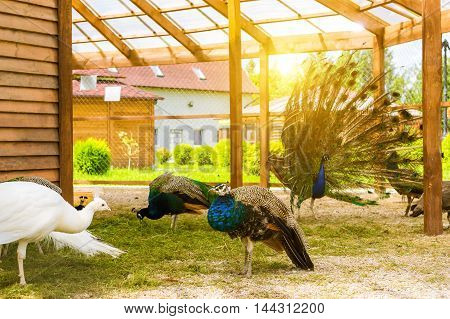 Females Peafowl Grazing