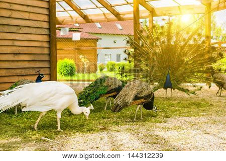 White Female Albino Peafowl Grazing