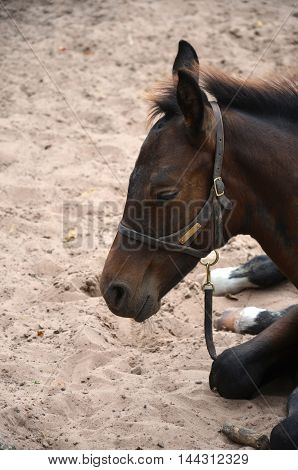 close up of a bay young colt napping in the sand