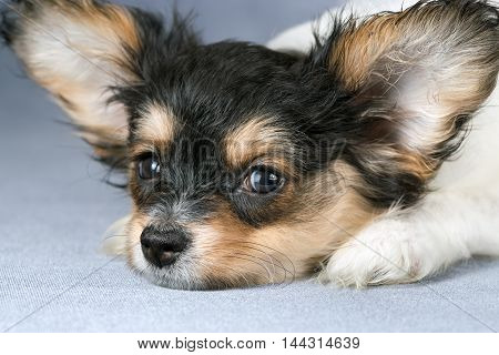 Cute puppy of the Continental Toy spaniel - Papillon - on a blue-gray background