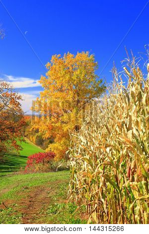 Autumn colors with trees and rolling farm land cornfield ready for harvest