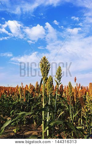 Close up of sorghum in morning sunlight.