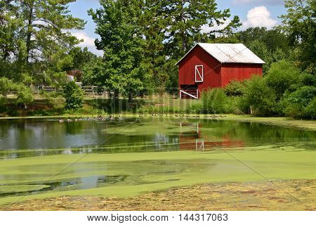 a bright red barn reflected in a pond covered in algae, geese swimming