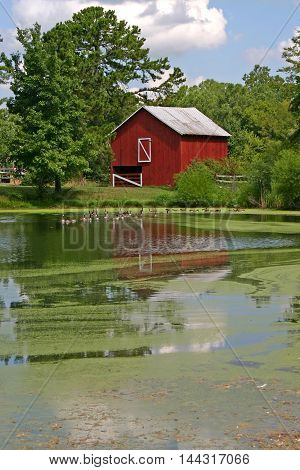 a bright red barn reflected in a pond covered with algae, geese swimming