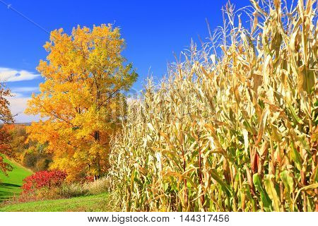 Autumn colors fall season in the Midwest rolling farm fields cornfield ready for harvest
