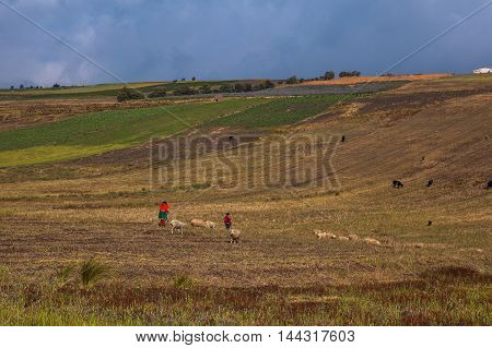 Indigenous and sheep in fields in the Ecuadorian sierra