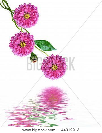 Autumn flowers zinnias isolated on white background