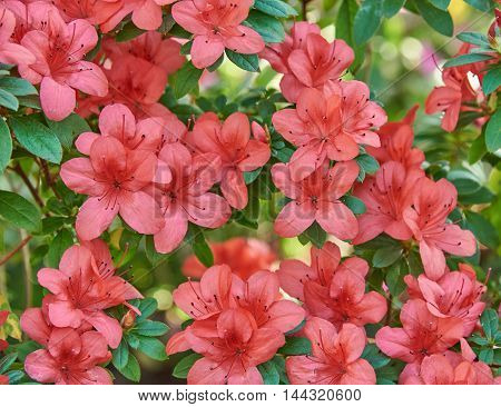 Detail azalea bush with red flowers. Background texture