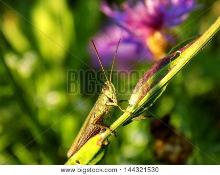Grasshopper on meadow plant in wild nature during spring
