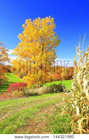 Field road leading to Autumn Leaves along cornfield