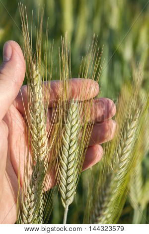 Few Wheat Spikelets In A Hand Of A Farmer