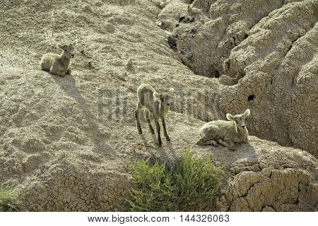 Three Big Horn Lambs on a rock cliff