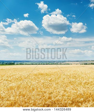 golden harvest field and clouds in blue sky over it