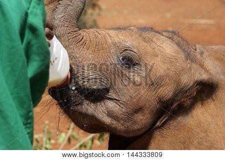 Surrogate Mother. Young Elephant Feeding, David Sheldrick Wildlife Trust, Nairobi, Kenya