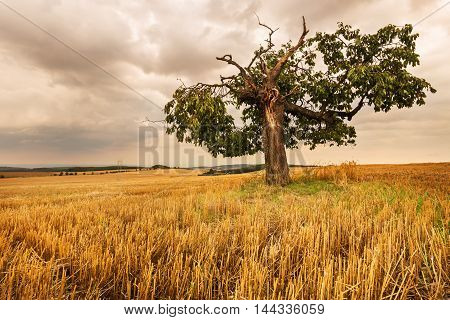 Lone tree in a field. Moravian landscape Premyslovice.