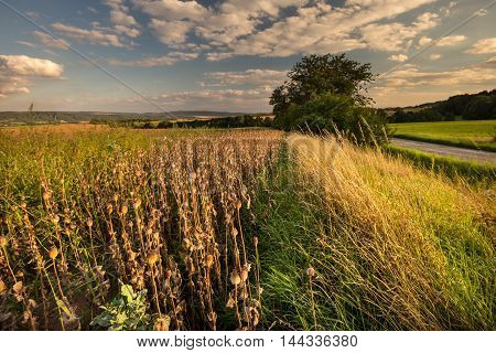 Poppy field with ripe finials. Moravian landscape Drvalovice.