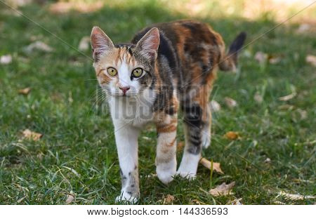 Cat walking on green grass and looking at camera.