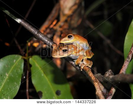 Pair of Convict tree frog, Hypsiboas calcaratus, sitting on a jungle tree branch