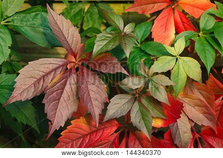 Closeup of a colorful wild grape leaves in autumn