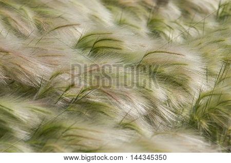 Feather Grass, Mat Grass