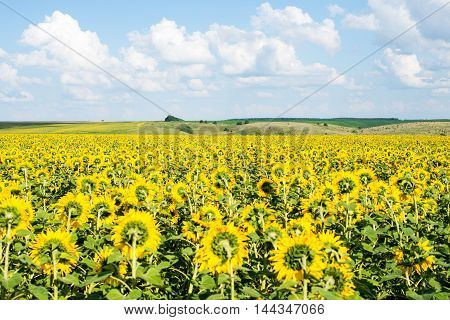 sunflower field rural landscape country, scene agriculture