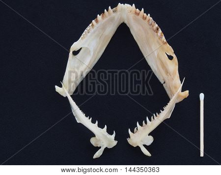 The teeth of the large flounder on dark blue background
