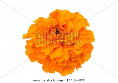 Marigold indian flower on a white background