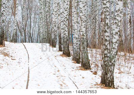 Winter Birch Alley
