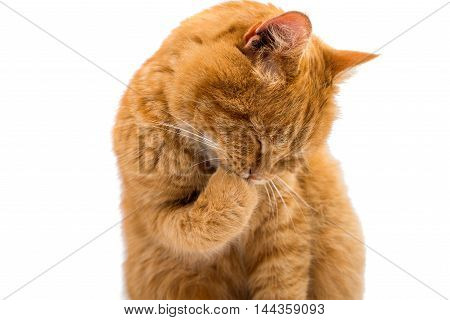 red ginger cat isolated on white background