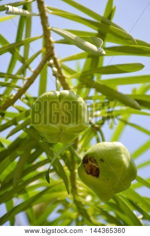 close up green oleander fruit hanging on branch