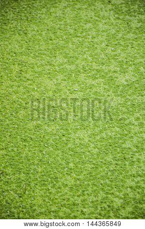 close up fresh green duckweed texture in garden
