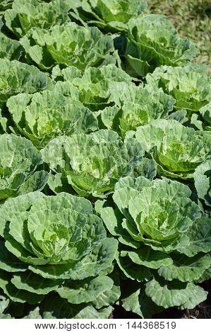 fresh green cauliflower plants in vegetable garden