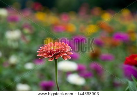 Field of multicolored daisies in shalow DOF with one pink standing out.