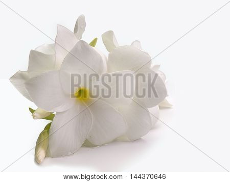 plumeria flower Placed on a white background.