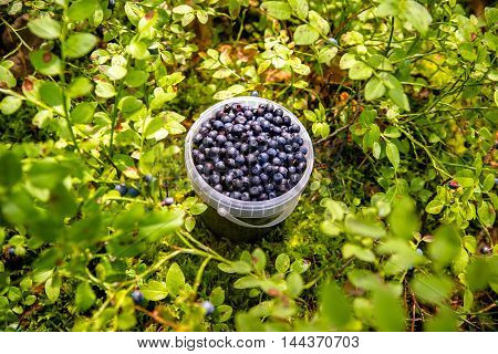 bucket of blueberries forest stands in the meadow