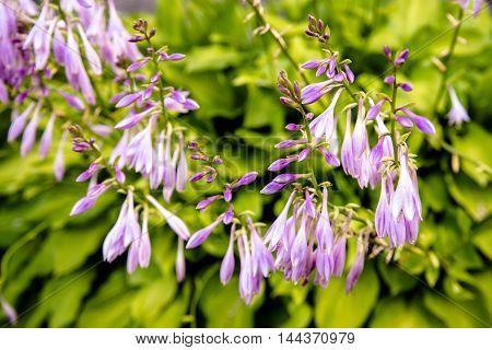 bush of violet flowers Hosta in a rustic garden