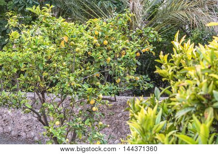 Ripe fresh lemons on a tree in Valldemossa Mallorca in sunlight.