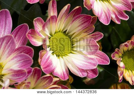 daisy flower with red and white petals closeup