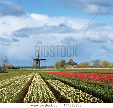Windmill and a house with colorful yellow and red tulips in the flower fields of the Dutch Bulb Region under a cloudy sky in the countryside of the Netherlands in spring.