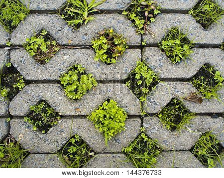 Small plants in the hole of concrete pathway brick