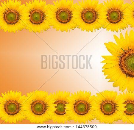 sunflower, sunflowers for background, sunflowers color full