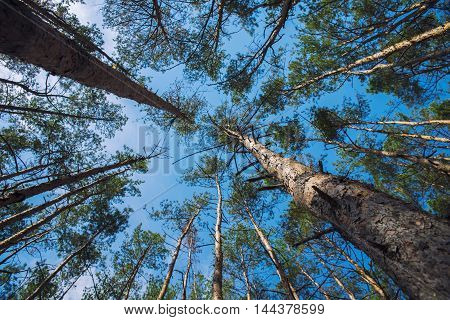 beautiful pine forest in the summer in Ukraine