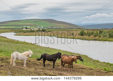 Icelandic horses in the countryside of Adaldur south of Husavik in northern Iceland