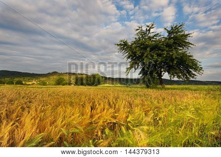 Ripening grain fields tree and dense clouds. Moravian landscape Vazany.