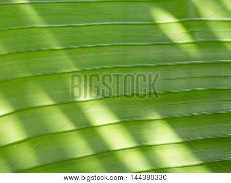 close - up Banana leaf with sunlight .