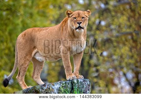 Lioness in the wild in the forest
