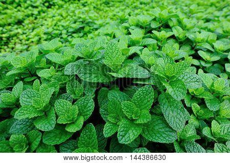 green mint plant grow at vegetable garden